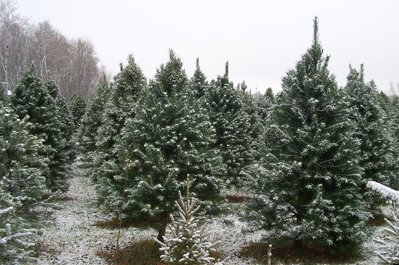 The Best Places To Cut Christmas Tree In Canada