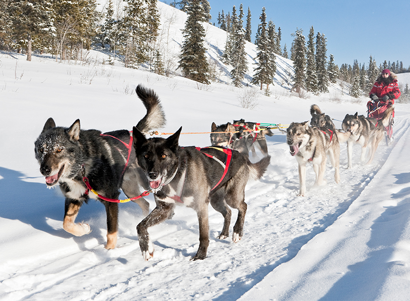 The best winter activities in Canada include dog sledding in Yukon